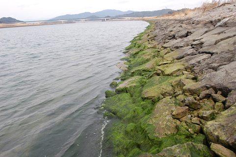 004川岸の青海苔.JPG