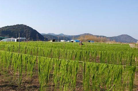 010-32青海苔乾燥.JPG