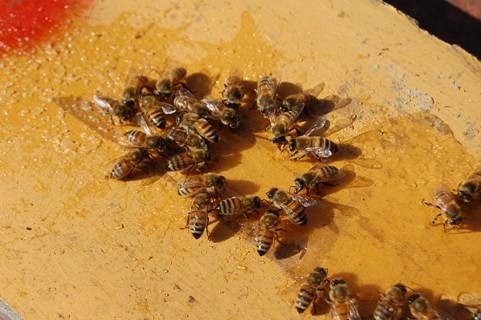 2010,1月、西洋蜜蜂.JPG