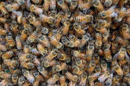 DSC_0005-15蜜蜂の集合.JPG