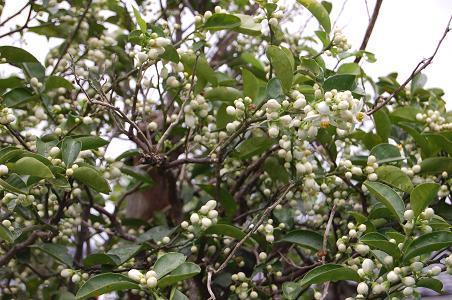 DSC_0014-15蜜柑の花蕾.JPG