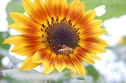 ひまわり、蜜蜂DSC_0024.JPG