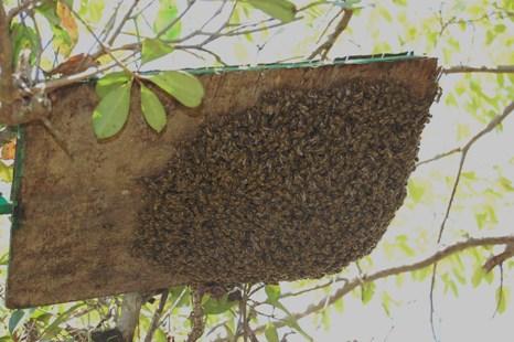 分蜂(和蜂)005.JPG
