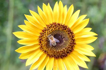 向日葵、蜜蜂DSC_0022.JPG