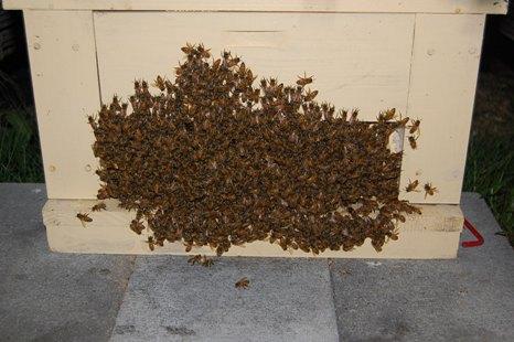 夜の巣門(西洋蜜蜂)強群.JPG