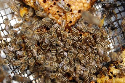 日本蜜蜂DSC_0009.JPG