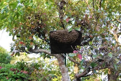 日本蜜蜂分蜂群003-31.JPG