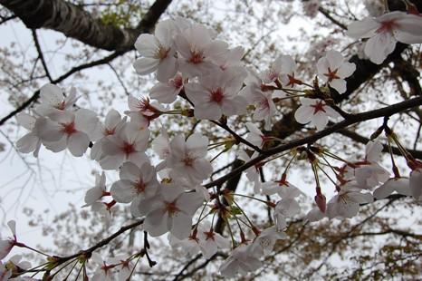 桜008.JPG