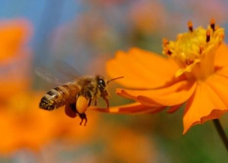 蜜蜂の花粉.jpg