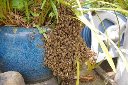 金陵辺と蜜蜂(29%).JPG